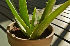 Planta do aloés do close up foto de stock