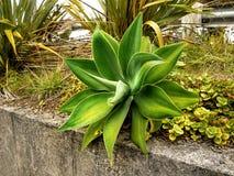 Planta do aloés do verde vívido imagens de stock