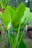 Planta do Alocasia, com suas folhas características imagem de stock royalty free