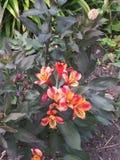 Planta do Alstroemeria Fotografia de Stock