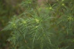 Planta do artemisiifolia do ambrosia fotografia de stock royalty free