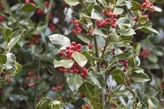 Planta do azevinho Foto de Stock