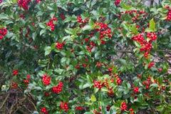 Planta do azevinho com bagas vermelhas Foto de Stock