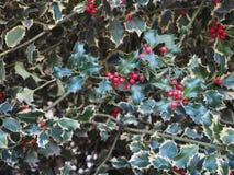 planta do azevinho do Natal Foto de Stock Royalty Free