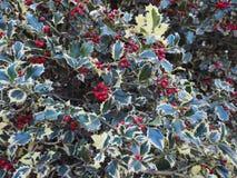 planta do azevinho do Natal Imagem de Stock Royalty Free