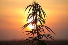 Planta do cânhamo no por do sol imagem de stock