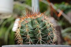 Planta do cacto Imagem de Stock