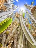 Planta do cacto Imagem de Stock Royalty Free