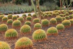A planta do cacto de tambor dourado enfileira em ajardinar do deserto Imagens de Stock Royalty Free