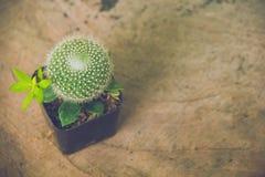 Planta do cacto no espaço do potenciômetro e da cópia, foco macio, foco seletivo Fotografia de Stock Royalty Free