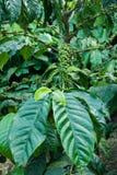 Planta do café Fotografia de Stock Royalty Free