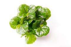 Planta do café com as folhas do verde isoladas no fundo branco foto de stock royalty free