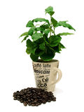 Planta do café com feijões de café 01 Imagem de Stock Royalty Free