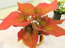 Planta do Caladium Foto de Stock