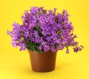 Planta do Campanula Imagem de Stock