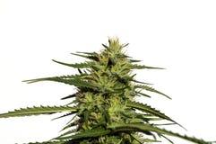 Planta do cannabis Fotografia de Stock