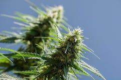 Planta do cannabis Fotos de Stock