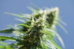 Planta do cannabis Foto de Stock Royalty Free