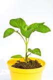 Planta do capsicum imagem de stock