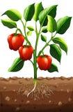 Planta do capsicum na exploração agrícola Imagens de Stock