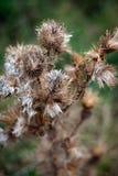 Planta do cardo Fotografia de Stock