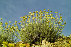 Planta do caril (italicum do Helichrysum) Imagens de Stock Royalty Free