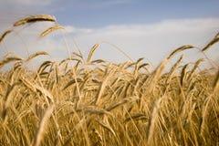 Planta do cereal Imagem de Stock Royalty Free