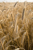 Planta do cereal Foto de Stock