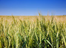 Planta do cereal do trigo Fotografia de Stock Royalty Free