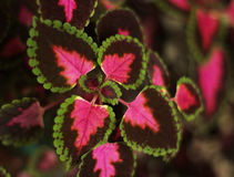 Planta do Coleus foto de stock royalty free