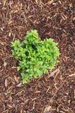 Planta do coração Fotografia de Stock