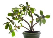 Planta do Crassula (árvore do dólar) isolada no branco. fotografia de stock royalty free