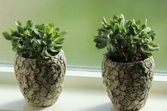 Planta do Crassulaceae na frente da janela fotos de stock