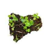 Planta do crescimento no mini soli Fotos de Stock