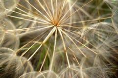Planta do dente-de-leão Fotografia de Stock