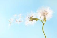 Planta do dente-de-leão com as sementes isoladas no azul Imagens de Stock Royalty Free