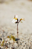 Planta do disparador (sp de Stylidium ) na areia Imagens de Stock