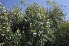 Planta do eucalipto Fotografia de Stock