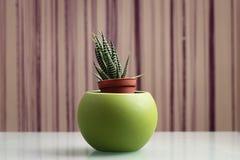 Planta do fasciata de Haworthia Foto de Stock