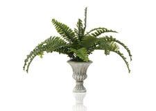 Planta do Fern Imagem de Stock Royalty Free