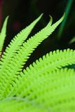 Planta do Fern Foto de Stock Royalty Free