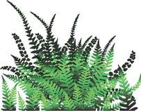 Planta do Fern - vetor Fotos de Stock Royalty Free