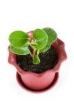 Planta do Ficus Fotos de Stock Royalty Free