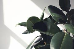 planta do ficus com luz solar imagem de stock