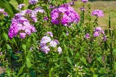 Planta do flox Fotografia de Stock Royalty Free