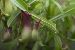 Planta do Flytrap fotografia de stock royalty free
