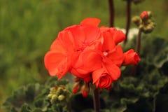 Planta do gerânio, do jardim e do balcão Imagem de Stock Royalty Free