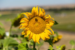 Planta do girassol com abelha imagem de stock