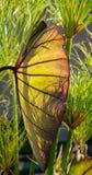 Planta do guarda-chuva do pobre homem ou da orelha de elefante Fotografia de Stock