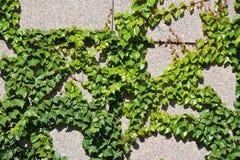 Planta do Hedera na parede de pedra Fotografia de Stock